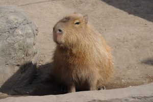 disapproving capybara is disapproving